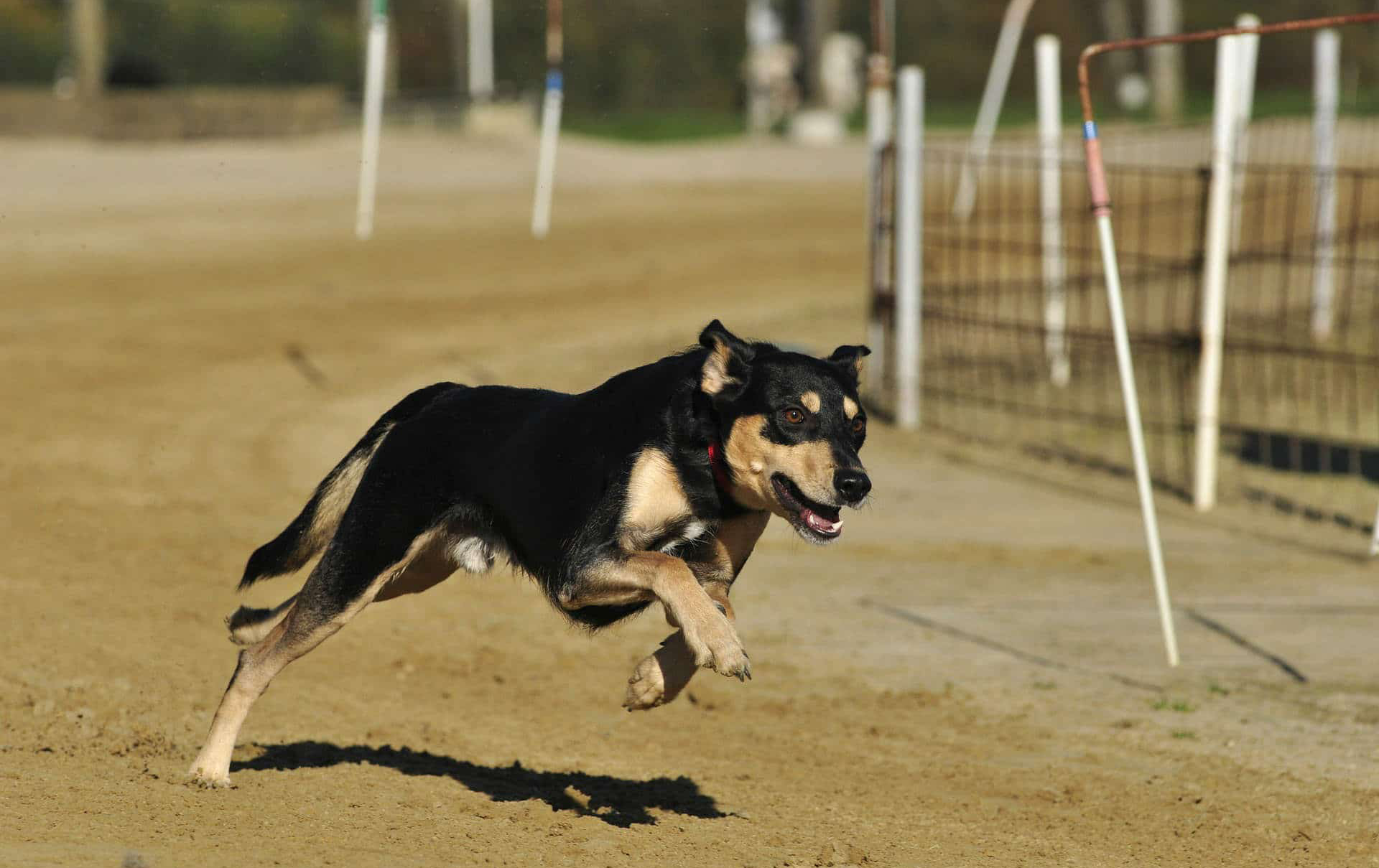 dog running a course